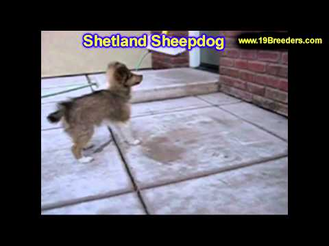 Shetland Sheepdog, Puppies, For, Sale, In,Omaha ,Nebraska, NE,Lincoln, Bellevue, Grand Island