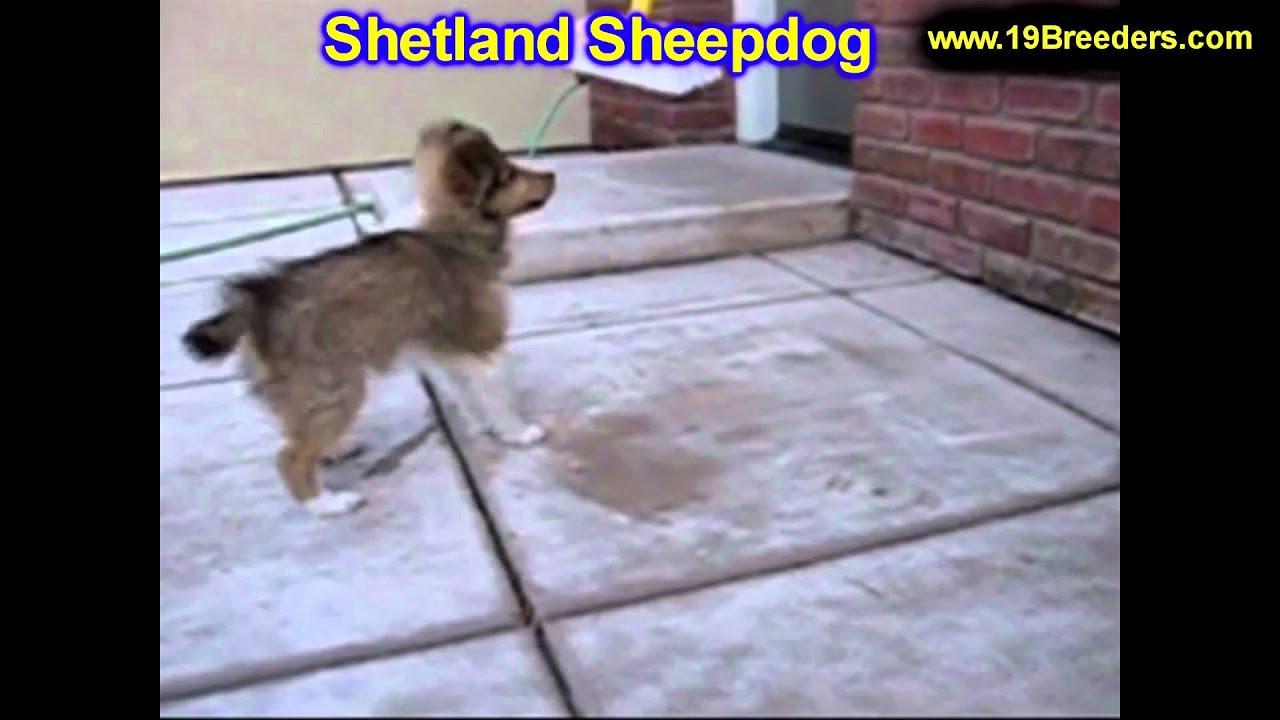 Shetland Sheepdog Puppies For Sale Inomaha Nebraska Ne