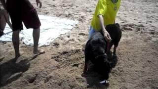 Rottweiler Wikipedia 1yr Old Baby Attacks  Rott Gili