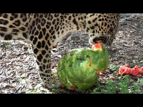 Big Cats Eat Watermelons!?