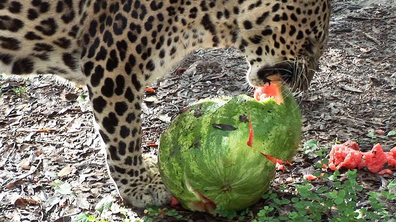 Big Cats Eat Watermelo...