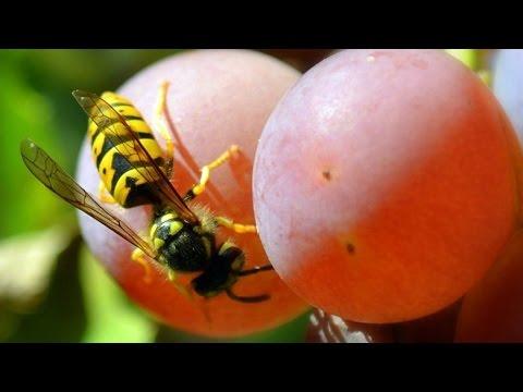 Виноград Защита ягод от ос и птиц