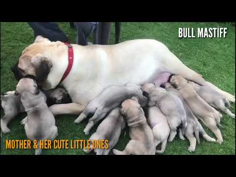Bull Mastiff Mother with her Litter. 10 Bull Mastiff Puppies in a Mad Rush for Milk.