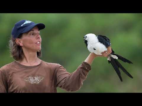 Swallow-tailed Kites Of Palm Beach County Florida
