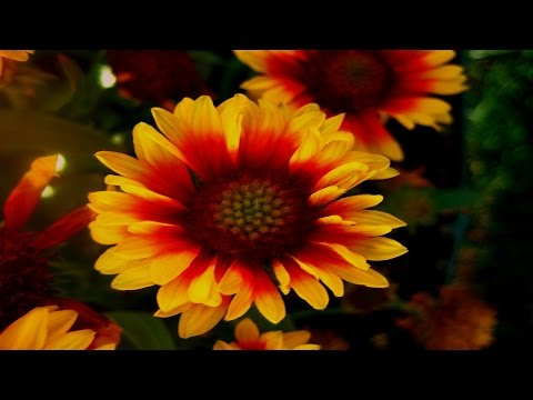 Most Beautiful Blanket Flower Ever You Seen