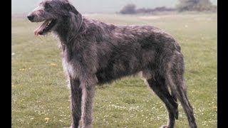 Asfa Trial Irish Wolfhounds Lure Coursing