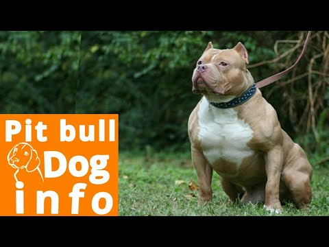 Pit Bull Dogs|Facts In Hindi | Dog Facts ||  Popular Dogs || Dog spot hindi|