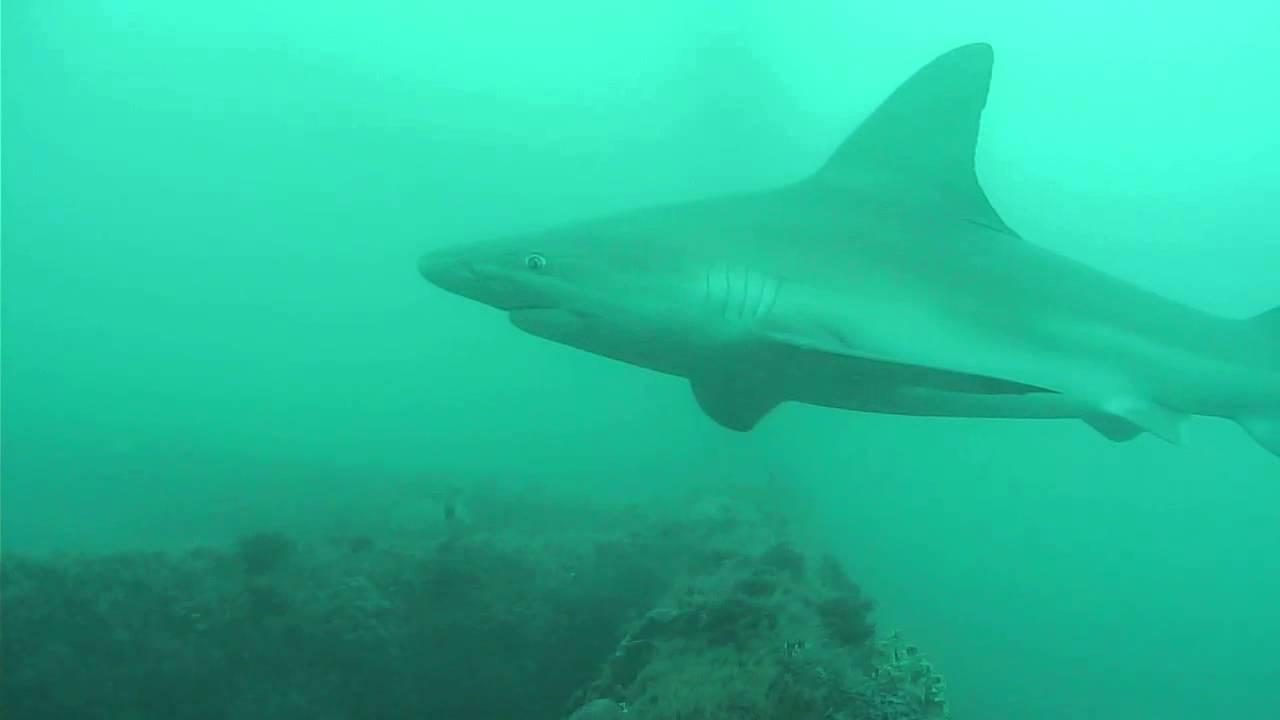 Sandbar Shark In Murky Water Youtube
