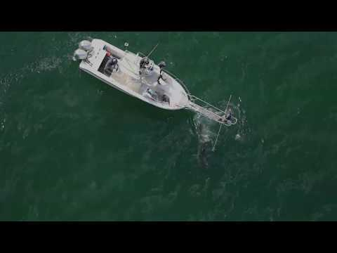 White Shark devours seal off Cape Cod