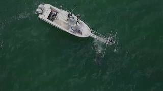 "White shark takes a grey seal in the"" Coliseum"" off Monomoy."
