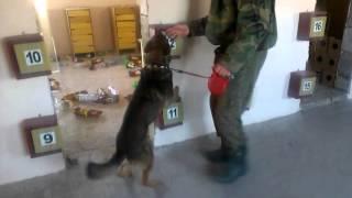Detection Dog Training VITO K - 9 №34