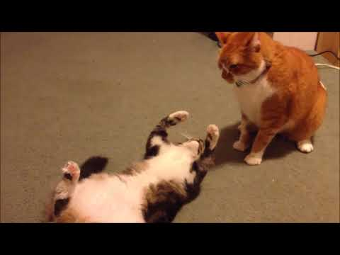FAT CAT FAIL/VINES COMPILATION BIG CAT CRAZY CAT