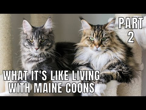 What It's Like Owning Maine Coons (Part 2)