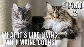 What It's Like Living with Maine Coons (Part 2)