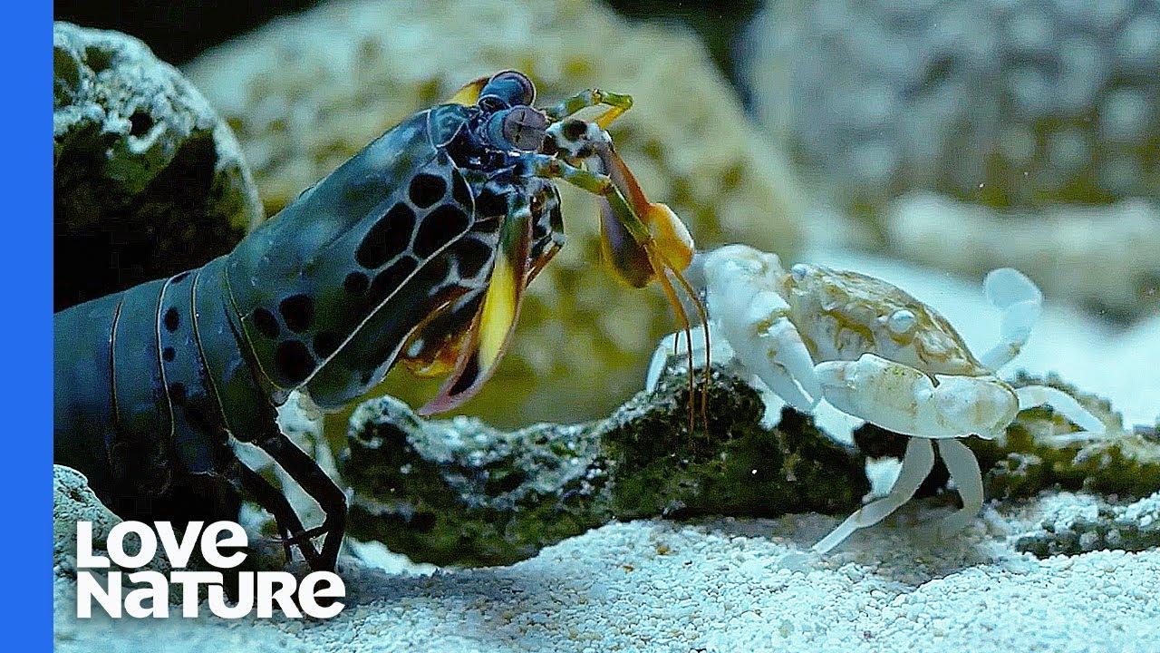 Mantis Shrimp Punches Crab's Arm Off