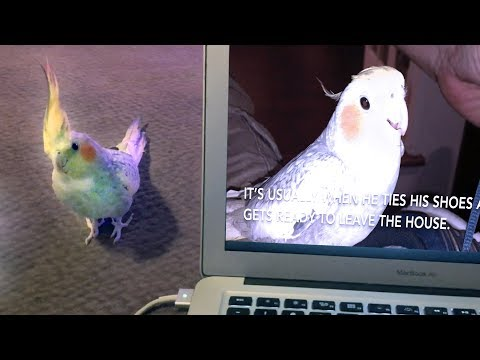 Lucky the iPhone singing cockatiel is OVER it!