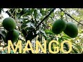 Healthy fruits - Green mangoes on the tree