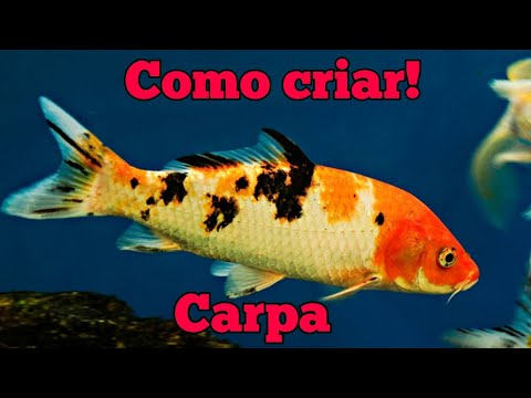 Desova de carpa manual doovi for Como criar peces koi