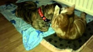 Cute Ginger Kitten Grooming Shar Pei Puppy 2011-04-01