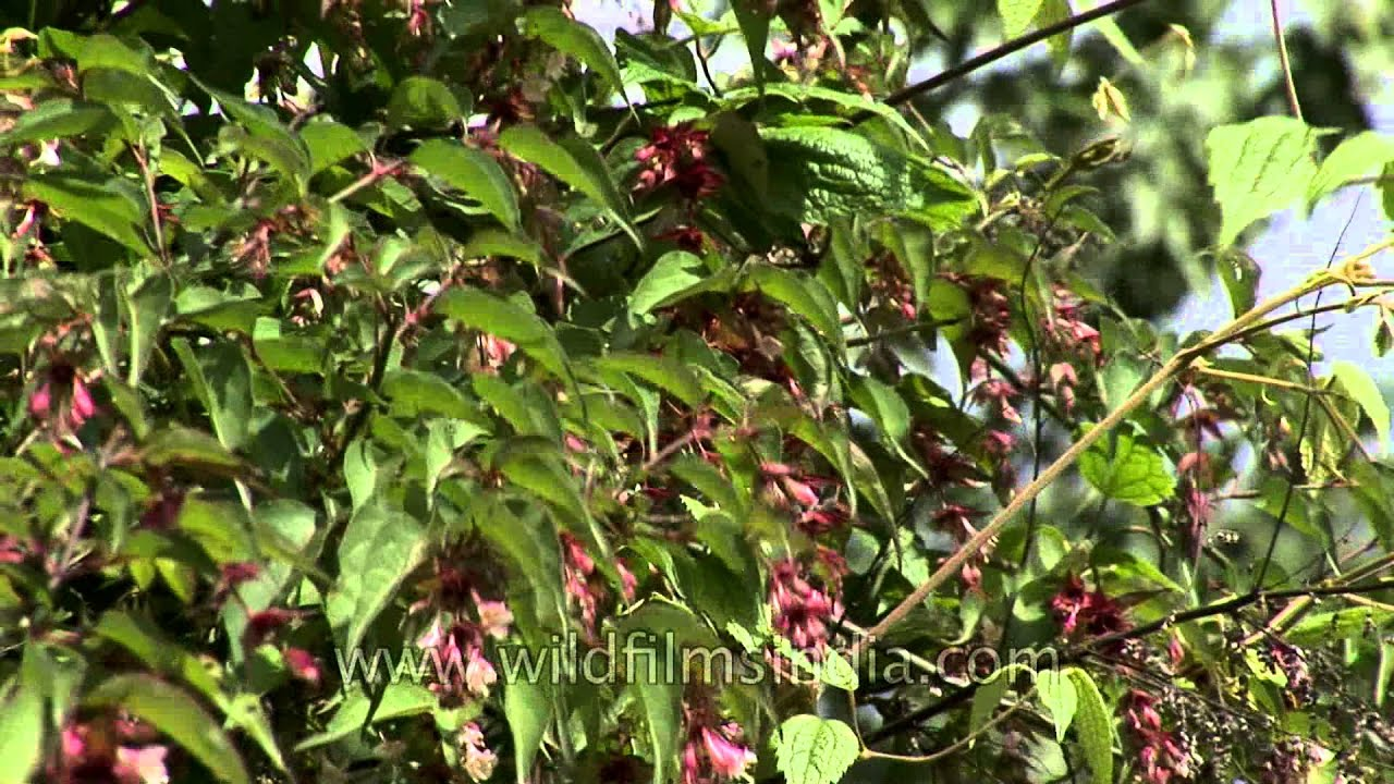 Help Us Identify This Pink Flowering Shrub In Bhutan Verbena