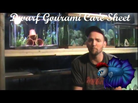 Dwarf Gourami Species Care Sheet
