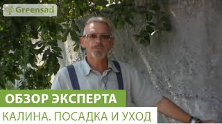 видео Калина Бульденеж: посадка и уход, размножение