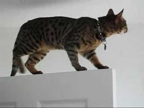 Bengal Cat Agility