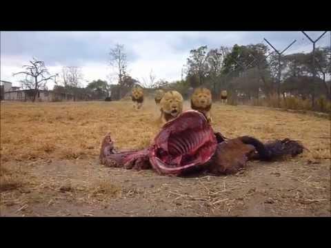 034: Antelope Park - Zimbabwe - Lion Feeding