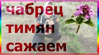 Чабрец тимьян на клумбе. Уход выращивание посев посадка тимьяна чабреца