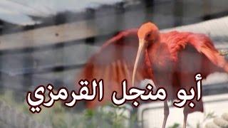 حيوانات - أبو منجل القرمزي