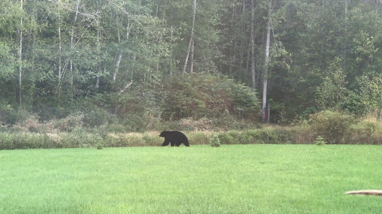 black bear in backyard - YouTube