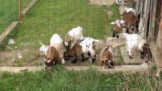 Kůzlata 2 (Holandská zakrslá koza)