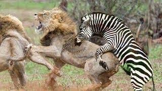 Лев Vs Зебра, Лев атакуют Зебра, Лев мира животных, Буффало, Льва, Собака, Медведя