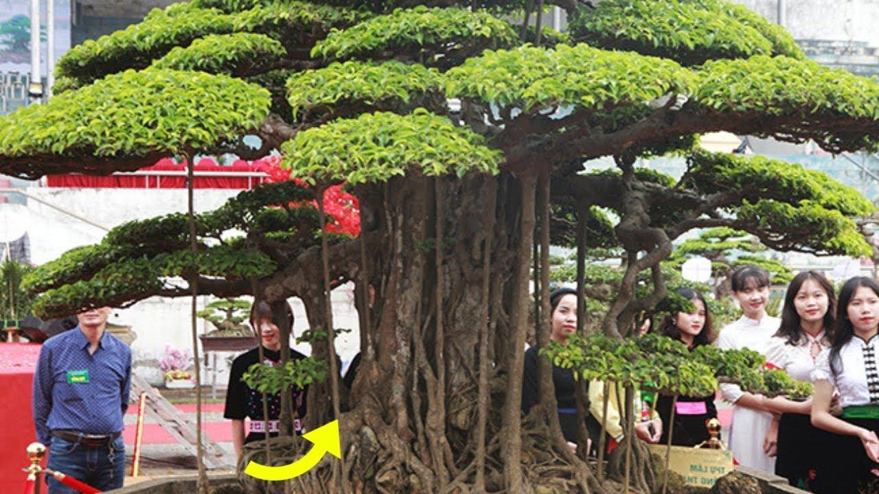 Độc - Lạ: Đại gia đất Tổ trả 7 tỷ đồng vẫn không mua nổi cây sanh, tại sao?