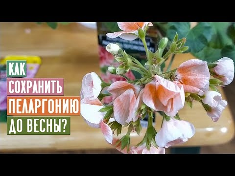 ВАЖНО!!! Как сохранить пеларгонию до весны / Садовый гид