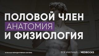 Анатомия и физиология полового члена