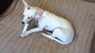 Michelle Jack Russell Terrier / Dachshund Available Through Upward Dog Rescue