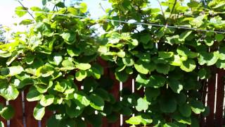 Kiwi fruit vine flowering in Yorkshire grown from seed