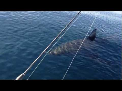 18+ Ft Great White Shark Stalks Boat on video (part 1)