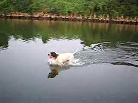 The English pointer which runs in a river