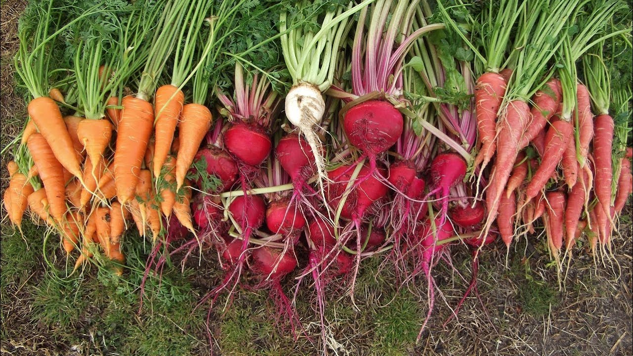 Attractive Planting Beets Part - 1: Attractive Planting Beets Photo Gallery