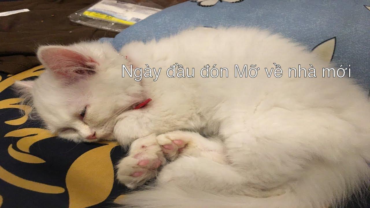 [VLOG] Ngày đầu đón bé mèo anh lông dài về nhà | Thông Tin về mèo anh lông dài