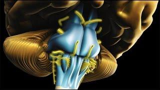 Neuroanatomie - Le tronc cérébral