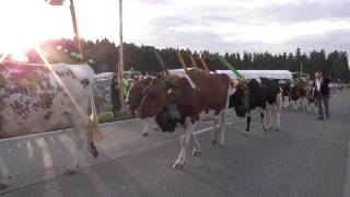 Alpaufzug Bernisch  Kantonales Schwingfest Affoltern  2017