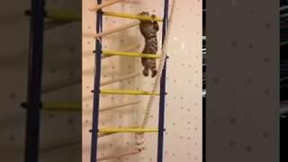 Лестница  на стене для кошки не проблема, видео  😃