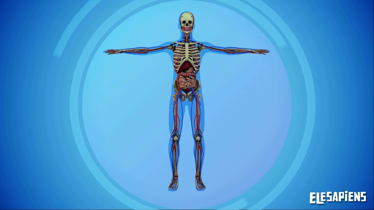The Systems Of The Human Body Youtube