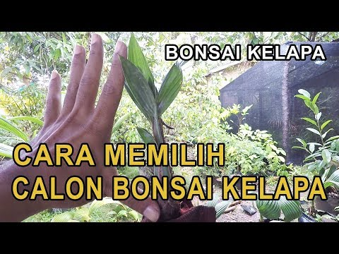 how-to-choose-a-prospective-coconut-bonsai