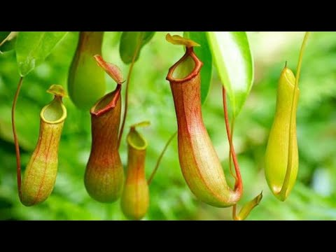 10 PLANTS THAT EAT ANIMALS | मांस खाने वाले पेड़ पौधे | Carnivorous Plants in the World in Hindi