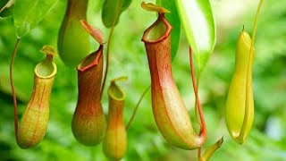 10 PLANTS THAT EATS INSECTS | कीड़े खाने वाले पौधे | Carnivorous Plants in the World in Hindi