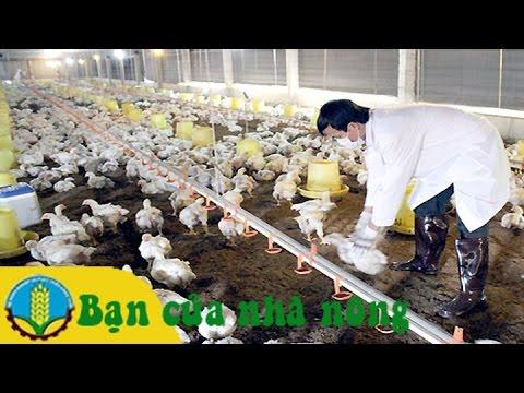 Kinh nghiệm và kỹ thuật nuôi gà theo mô hình VietGap